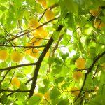 ענינה של מצוות 'פרי עץ הדר'